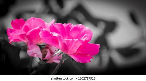 Wild pink roses bush roses nature photography