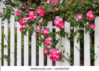 Wild pink roses growing on a white picket fence with flower garden showing through