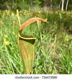 Wild pitcher plant