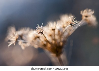 Wild plant with dried flowers and natural background