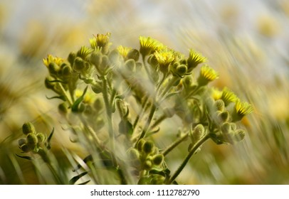Wild plant in full bloom amidst the meadow, Senecio