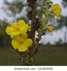 Wild plant wallflower blooming at field with yellow flowers, close up