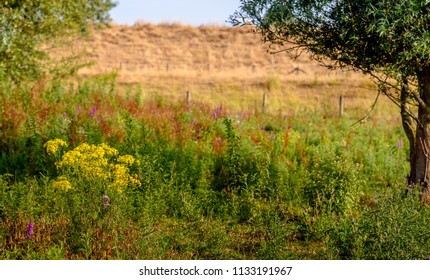 Wild plants blooming in various bright colors in a nature reserve at the foot of a Dutch dike. The grass on the dike is dry and yellowed due to the persistent drought in this summer period.