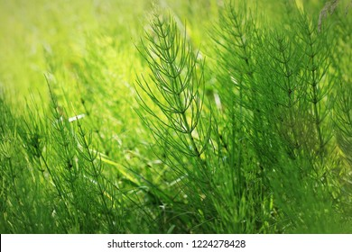 Wild plants - green background of horsetail or Tolkachik or Equisetum arvense . Common Horsetail in spring .