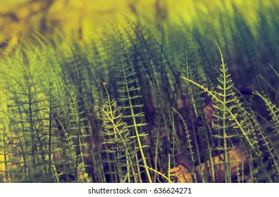 Wild plants - green background of horsetail or Tolkachik (Equisetum arvense) - Common Horsetail in spring. Green grass - abstract background of nature.