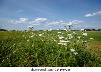 Wild plants in a green grassland Along a dyke with endless views over a dutch polder landscape.