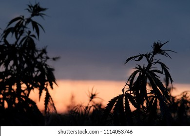 Wild plants of the hemp family. Silhouette of cannabis bushes against the background of sunset or dawn.