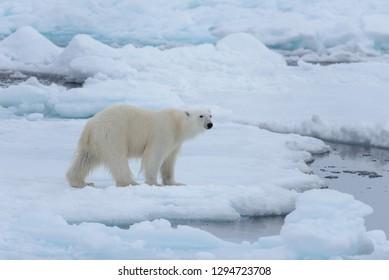 Wild polar bear on pack ice in Arctic sea close up