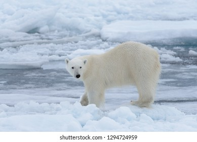 Wild polar bear on pack ice in Arctic sea close up