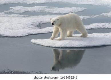 Ours polaire sauvage sur banquise en Arctique