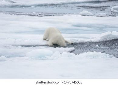 Wild polar bear puting his head in water on pack ice in Arctic sea