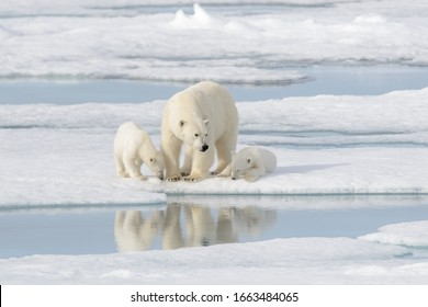 Wild polar bear (Ursus maritimus) mother and cub on the pack ice - Shutterstock ID 1663484065