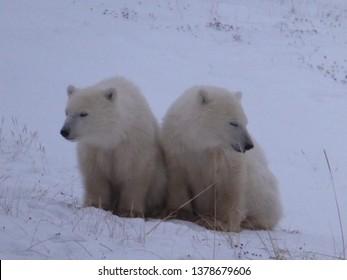 Wild Polar Bears in Canada