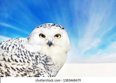 Wild polar owl against the boundless snow covered tundra