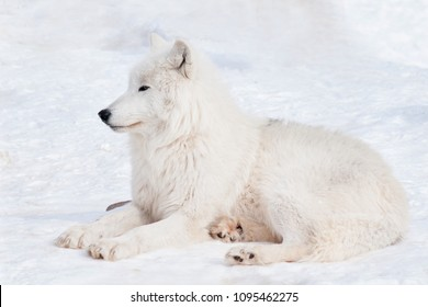 Wild polar wolf is lying on white snow. Arctic wolf or white wolf. Animals in wildlife.