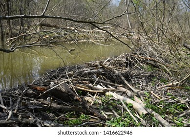 wild pond in the forest made by beaver as the branches dam