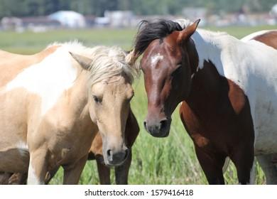 Wild ponies of Assateague Island. Chincoteague ponies on the beach of Assateague island.