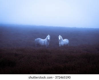 Wild ponies on a damp misty winters day on the Longmynd, Shropshire, England, UK.