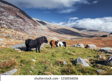 Wild ponies on mountain meadow in Snowdonia National Park in North Wales, UK