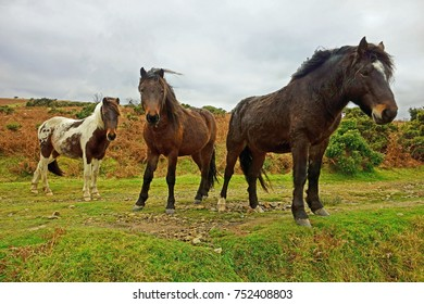 Wild ponies posing for the camera on a grey afternoon in Winter on Bodmin Moor, Cornwall, U K