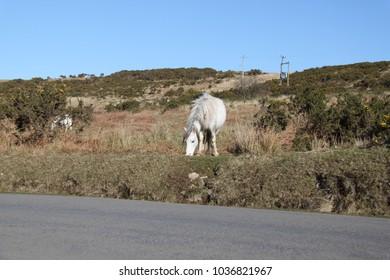 wild pony grazing