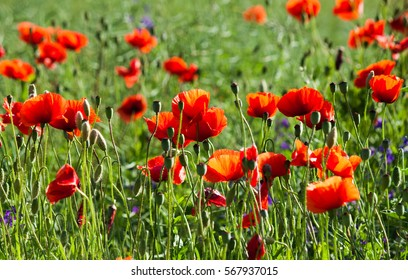 Wild poppies in the field. Nature background. Landscape.