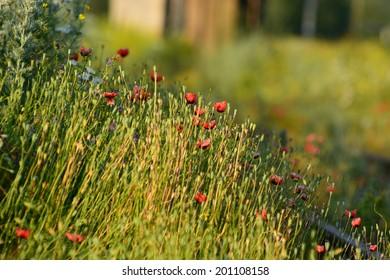Wild poppies growing near the railroad tracks