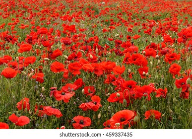 wild poppies landscape scene typical of those used for remembrance sunday with that tradition symbol the red poppy flower