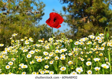 wild poppy among the chamomile in a forest glade, spring flowering in the Lower Galilee, Israel