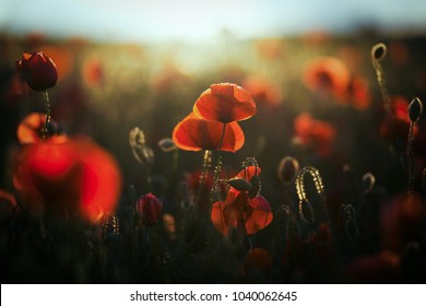 wild poppy field - Armistice or Remembrance day background