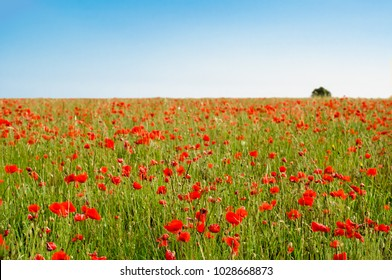Wild poppy field on a Summer day in July with lone tree on horizon and blue sky.