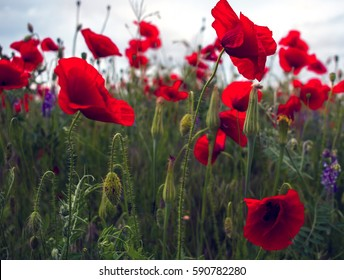 wild poppy flower on field on a blurred background