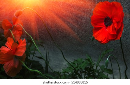 wild poppy flower at sunset.  symbol of remembrance.