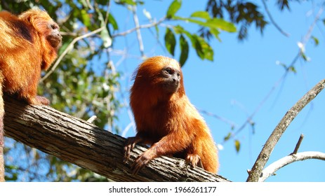 The wild population of the golden lion tamarin, which lives only in Brazil's Atlantic Forest, fell to just 200 in the 1970s . Conservationists have helped the species rebound, but the monkeys are stil