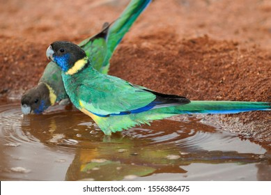 Wild Port Lincoln parrots, drinking water on a hot day in the bush. Twenty eight or ring-neck parrot, side on view, standing in water, looking at the camera.