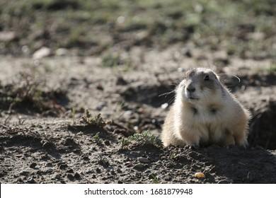 wild prairie dog in theodor roosevelt national park, south dakota