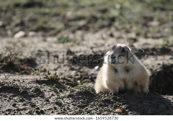 wild prairie dog in theodor roosevelt national park, south dakota
