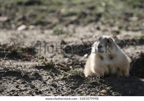 wilder Präriehund im Nationalpark von Theodor roosevelt, Süddakota