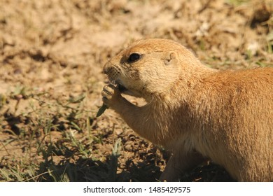 WIld prairie dog of Theodore Roosevelt National Park in North Dakota. Prairie dog talking to others of its family and eating nearby to its home.