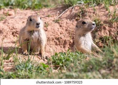 Wild prairie dogs outside of Devil's Tower National Monument (Wyoming).