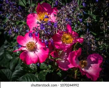 Wild Prairie Rose with Virginia Bluebell
