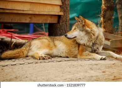 Wild predator in captivity. Wolf on a chain. Domesticated animal.