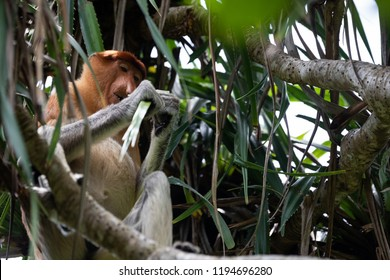 Wild Proboscis Monkey in Borneo in Bako National Park