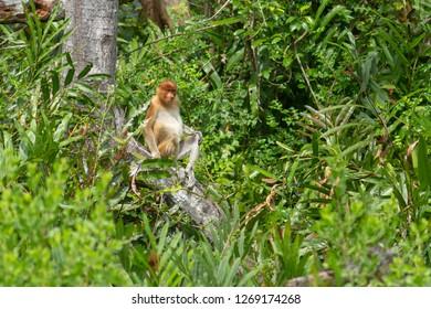 Wild proboscis monkey at mangrove forest in Sandakan Sabah Malaysia.