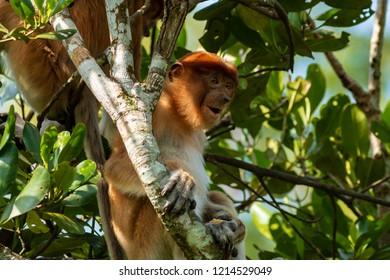 Wild Proboscis Monkeys in the trees at dusk along the Kinabatangan River, Sabah, Borneo
