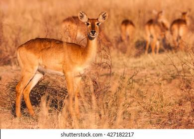 Wild Puku Antelope in the African Savannah