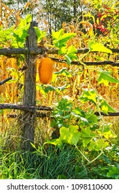 Wild pumpkin on old wooden fence at countryside