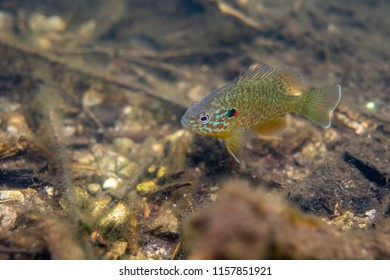 Wild pumpkinseed sunfish swimming free guarding its nest in a lake north Quebec Canada