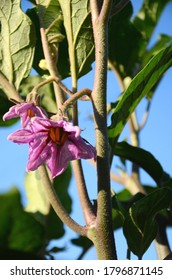 wild purple flower of the aubergine plant growing in the garden on a sunny day. close up eggplant bloom.