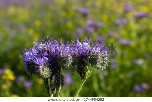 Wild purple flowers. Small flakes. Wild vegetation. Rest in the bosom of nature. Long flower pretzels. Field near the forest. Rural area.